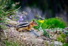 The Golden-mantled Ground Squirrel is right at home here, surrounded by wildflowers.