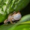 Coquí frog