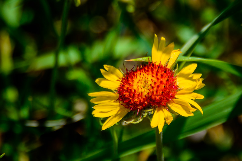 A yellow variety of Blanket Flower