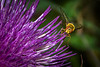 Hoverfly on a Thistle bloom