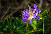 Purple Locoweed