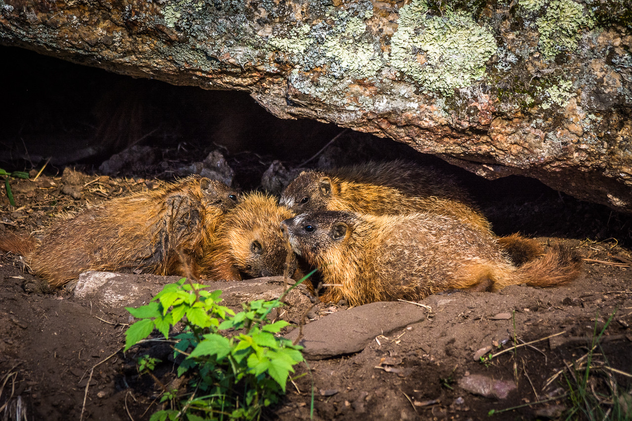 Yellow-bellied Marmot colony demonstrating their grooming behavior.