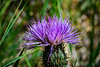 I seldom pass up a thistle bloom as the color always captures my attention.