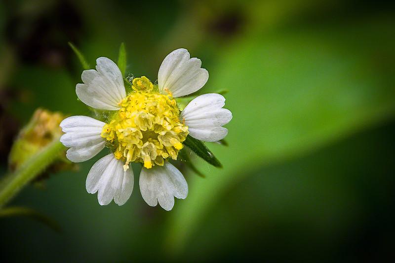 Pale-flowered Leaf Cup