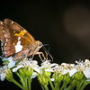 Silver-spotted Skipper Butterfly on Crownbeard