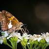 Silver-spotted Skipper Butterfly on Crownbeard