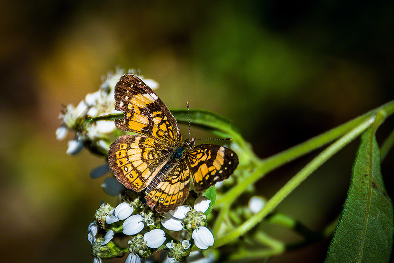 Pearl Crescent Butterfly on Crownbeard flower