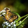 Pearl Crescent Butterfly on Crownbeard flower