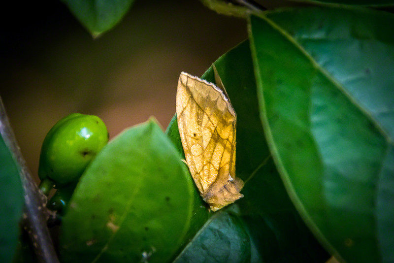 Brown and tan moth on Amur Honeysuckle