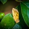 Brown and tan moth on Amur Honeysuckle