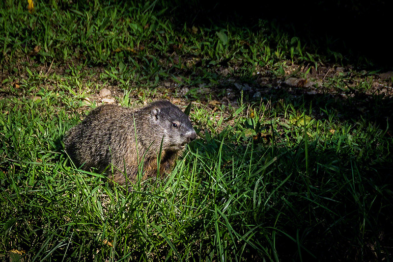 This Groundhog came out before the sun started to set.  He had dinner (grass) on his mind and ignored me as long as I stayed still.