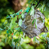 Bald-faced Hornet's Nest
