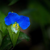 Asiatic Dayflower
