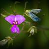 Naked-flower Tick-trefoil