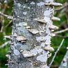 Southern Prickly Ash