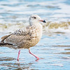 Adolescent Herring Gull