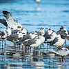 Little Gulls.  Yes, that is their offical name.