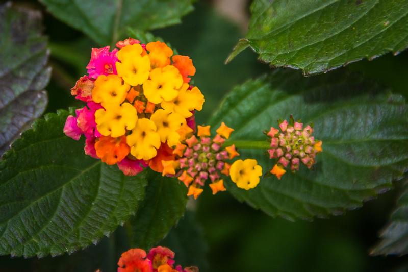Lantana - very pretty, but it's an invasive species.