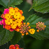 Lantana - very pretty, but it's an invasive species.
