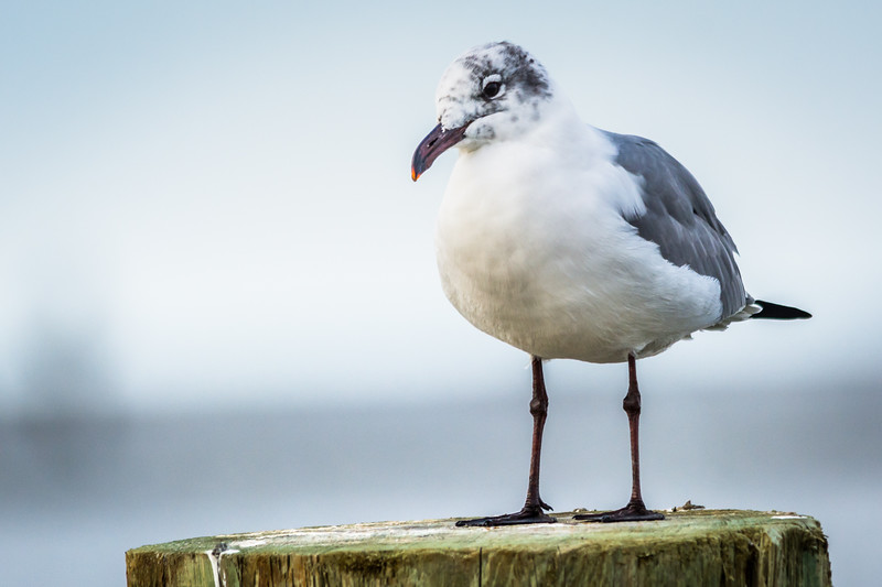 Another interesting Gull I haven't been able to accurately identify yet.