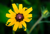 Black-eyed Susan Coneflower