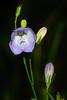 Harebell Bellflower