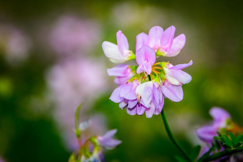 Pink Locoweed