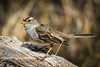Immature White Crowned Sparrow