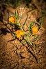 I wish I had taken a better photo of this Orange Flameflower.  I don't think it is common in Palo Duro Canyon and as a result it took forever to identify.  I had it confused with Scaly Globemallow which has a similar color and narrow leaves, but is a different plant.