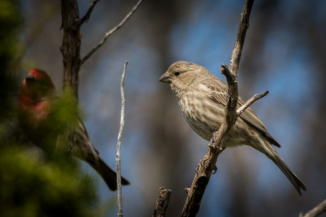 Female House Finch with hubby in the background