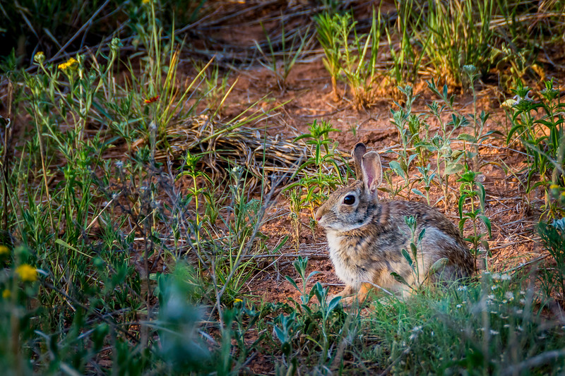 This little Desert Cottontail is surrounded by at least five different wildflowers, typical of some parts of the desert in Spring.