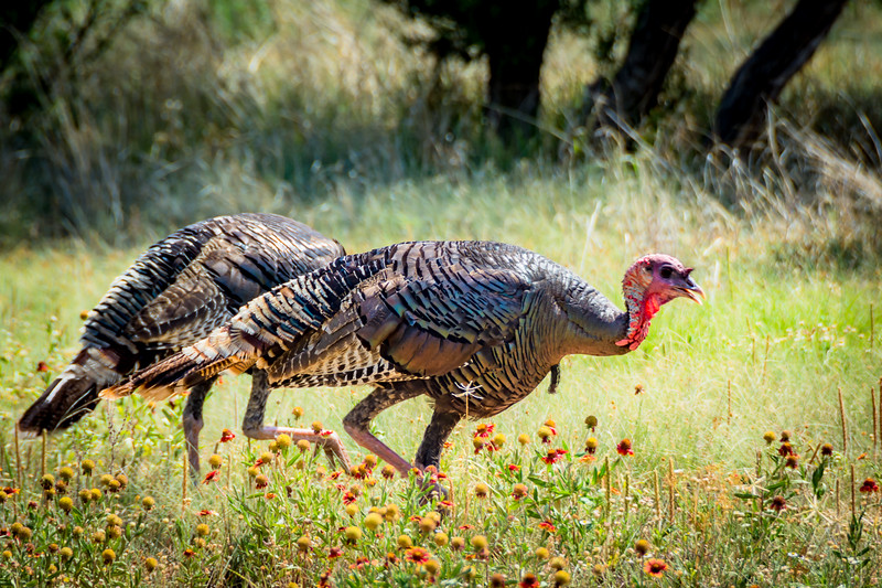 Wild Turkeys in a grove of Indian Blanket flowers