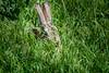Camera shy Black-tailed Jackrabbit