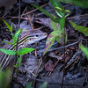 On the way down we spotted this Six-lined Racerunner Lizard who was being a bit shy.