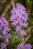Rocky Mountain Purple Locoweed