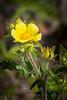 Leafy Cinquefoil
