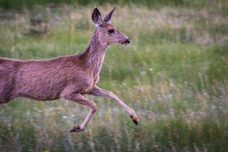 Mule Deer in motion