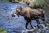 We ran across another female moose.