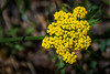 Sulphur-flower Buckwheat
