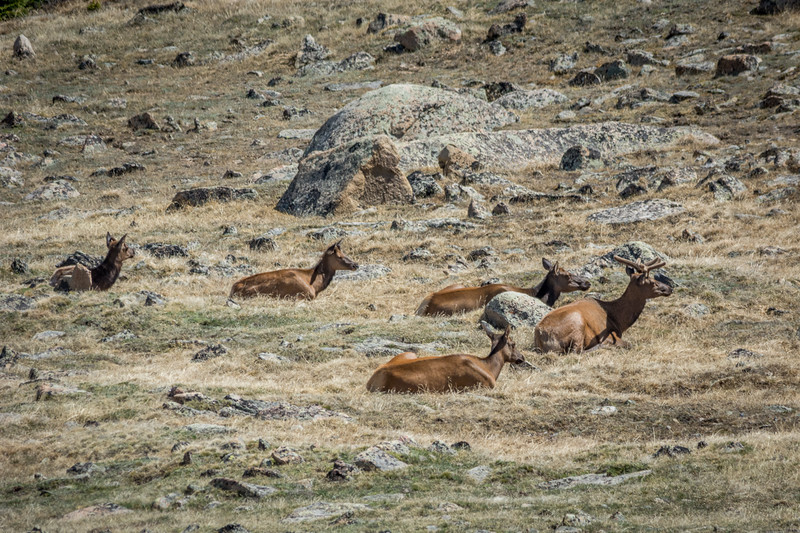 This was above the treeline.  There's not a lot to eat up here, but these Elk seem to be content.