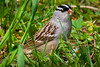 White-crowned Sparrow eats Dandelion seeds