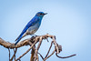 Male Mountain Bluebird.  His sweetie was in the area too.