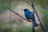 The Common Grackle is one of my favorite birds.