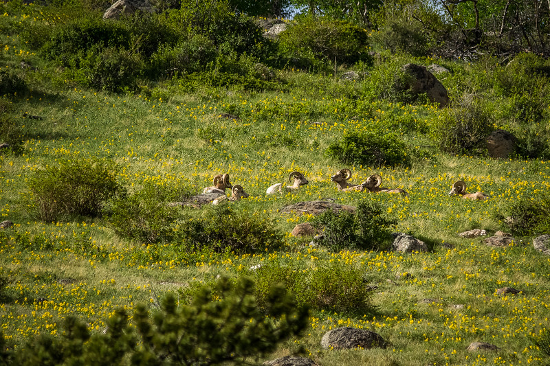 Bighorns on the mountain