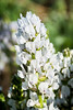 Rocky Mountain White Locoweed