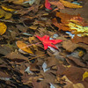 The red Sweetgum leaf always finds a way to show off, even under water.