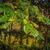 Umbrella leaf Magnolia