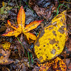 Red tinged Sweetgum and yellow Mockernut Hickory leaves