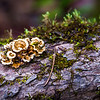 Tiny Turkey Tail Mushroom.  Use the Pine needle for size reference.