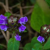 The delicate flower cluster of the Heal All plant was still in bloom and brightly colored at low elevations.